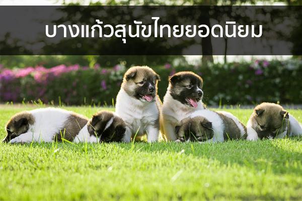 บางแก้วสุนัขไทยยอดนิยม